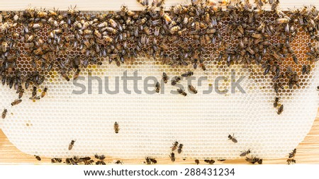 Pristine white natural drawn beeswax comb with nectar on a foundationless Langstroth frame. - stock photo