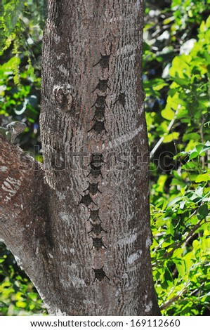 Proboscis bats, Rhynchonycteris naso, in typical roosting formation on a tree trunk in Costa Rica - stock photo