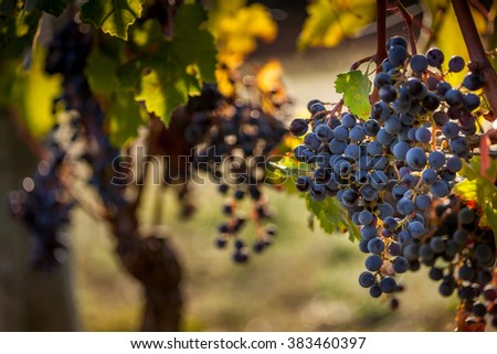 processing and care of the vineyards in Tuscany of red and white wine in Bolgheri