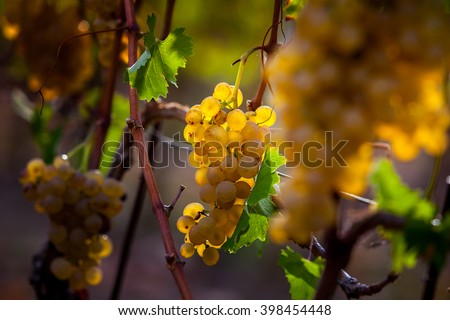 Processing and care of the vineyards in Tuscany of red and white wine in Bolgheri - stock photo