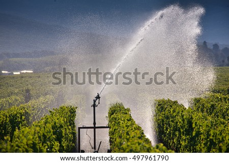 Processing and care of the vineyards of red and white wine in Bolgheri, Tuscany