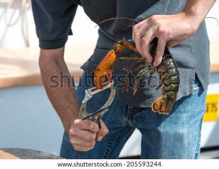 Processing Lobster - stock photo