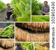 Production of tobacco, split screen - stock photo