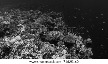 Productive coral and fish communities of a coral reef crest environment. Taken in the Wakatobi, Indonesia