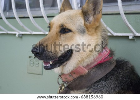 profile close up to a adult German Shepherd smiling
