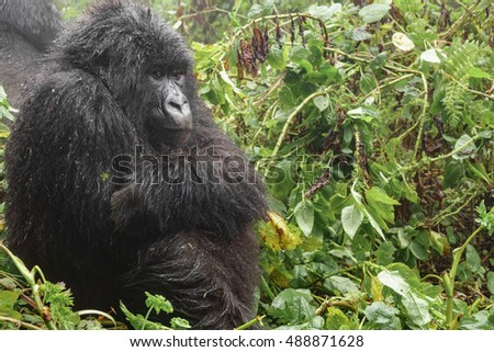 Profile closeup of female mountain gorilla sit and thinking in the forest