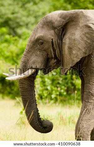 Profile head shot of a wild african elephant - stock photo