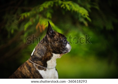 Profile head shot of Boston Terrier in the trees