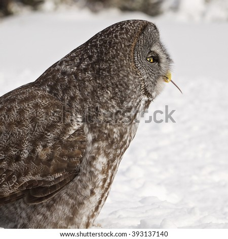 Profile image of a Great Grey Owl eating its prey.  Provincial bird of Manitoba, Canada. - stock photo
