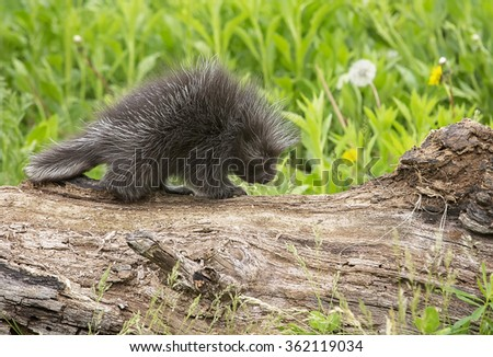 Profile image of a young, North American porcupine walking on a log.  Springtime in Minnesota.  - stock photo