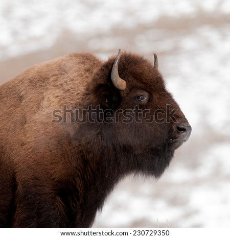 Profile of a bison, facing right, with breath showing due to frigid temperatures in Yellowstone National Park in winter - stock photo