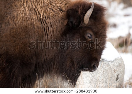 Profile of a bison scratching his head on a rock in Yellowstone National Park - stock photo