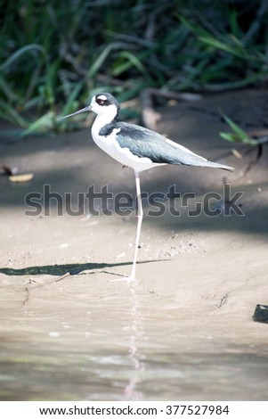 Profile of a black necked stilt standing on one leg on the bank of the Palo Verde River in Central America; facing left - stock photo