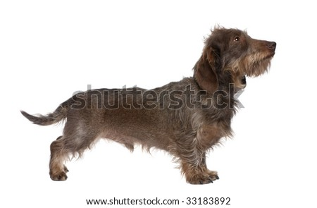 profile of a Brown Wire-haired dachshund looking up (3 yeras old) in front of a white background - stock photo