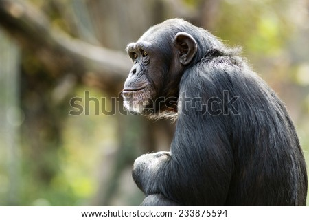 profile of a chimpanzee staring thoughtfully into the distance