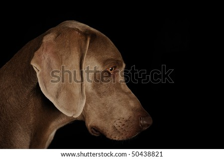 Profile of a dog's face on a black background.Weimaraner - stock photo