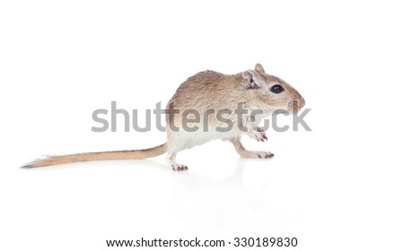 Profile of a funny gerbil isolated on a white background - stock photo