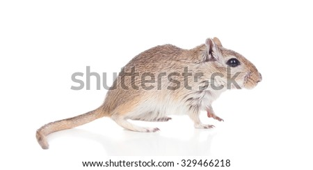Profile of a funny gergil isolated on a white background - stock photo