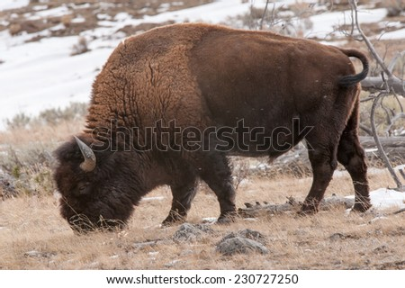 Profile of a large bison eating grass in Yellowstone National Park in winter - stock photo