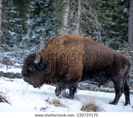 Profile of a large bison plodding through the snow facing left, winter in Yellowstone National Park - stock photo