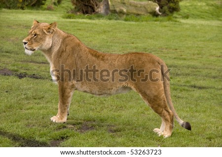 profile of a lioness - stock photo