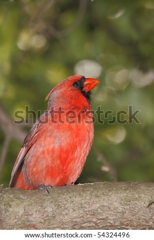 profile of a male cardinal proudly perched on a pine branch - stock photo