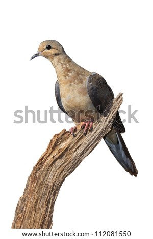 Profile of a mourning dove using its talons to grasp the end of a dried, broken branch. Dove leans forward on a 45 degree angle, white background - stock photo