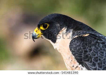 Profile of a Peregrine Falcon - stock photo