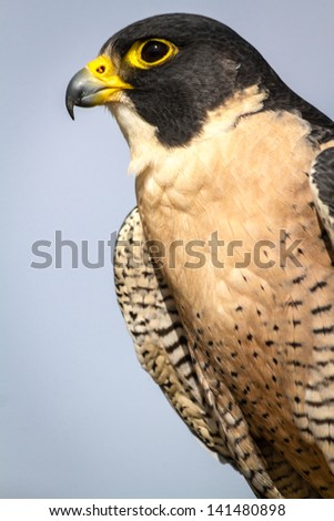 Profile of a Peregrine Falcon sitting on a tree branch - stock photo