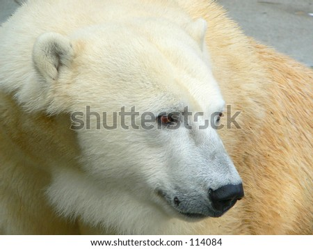 Profile of a polar bear - stock photo