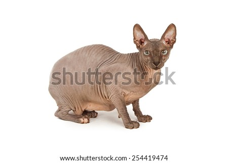 Profile of a rare breed hairless Sphynx cat looking at the camera - stock photo