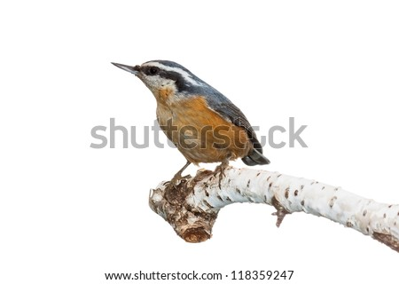 Profile of a red-breasted nuthatch perched on a white birch branch, white background