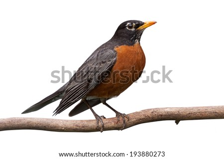 Profile of a robin perched on a  branch. With Its head cocked sideways, its bright orange breast is prominently displayed. white background