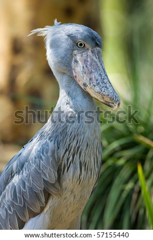 Profile of a Shoebill. The Shoebill, or Balaeniceps rex, also known as Whalehead, is a very large stork-like bird with a massive shoe-shaped bill.