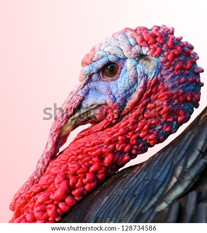 Profile of a turkey isolated on a over orange background