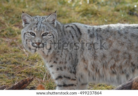 Profile of a wild bobcat up cloase.