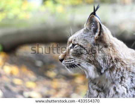 profile of a wild lynx in a sunny autumn forest with copy space. - stock photo