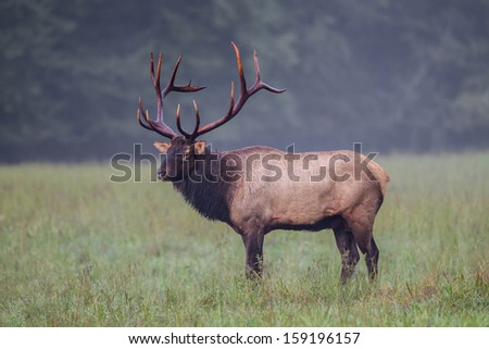Profile of American male elk with full rack of antlers