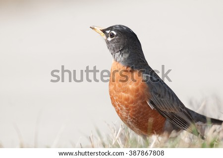 Profile of American robin (turdus migratorius) standing in grass