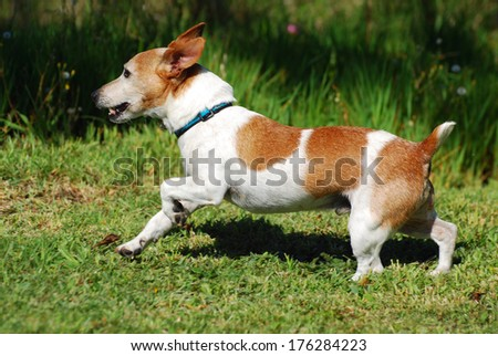 Profile of an old little purebred Parson Jack Russell Terrier dog running free in nature.
