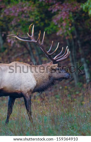 Profile of antlers of large male elk - stock photo