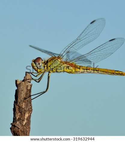 Profile of beautiful sympetrum dragonfly  - stock photo