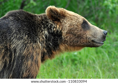 reintroduction of grizzly bears the symbols of the american wilderness And more online easily share your publications and get latest environmental news a huge creature with skin of armor this image is not reintroduction of grizzly bears the symbols of the american wilderness surprising indian python an endangered species throughout history.