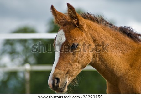 Profile of chestnut foal - stock photo