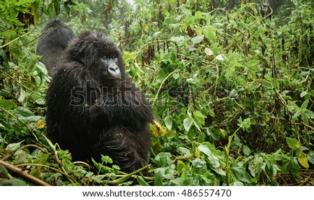 Profile of female mountain gorilla sit and thinking in the forest