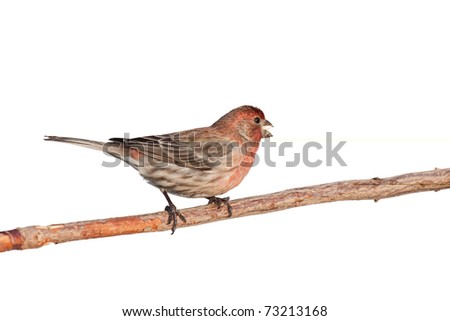 profile of finch eating a safflower seed while perched on a branch, white background - stock photo