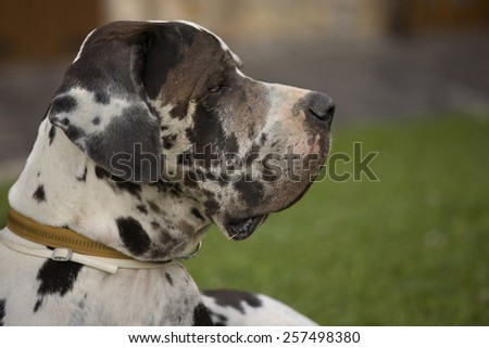 Profile of Great Dane  with attentive look