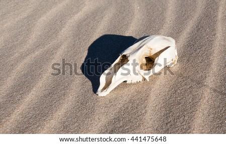 Profile of kangaroo skull bone with shadow on beach sand in Western Australia/Skull in Wet Sand/Kangaroo Abstract, Western Australia - stock photo