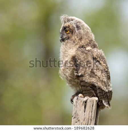 Profile of Long-eared owl standing on dry branch - stock photo