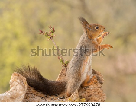 profile of red squirrel reaching out